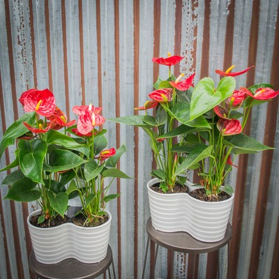 Double Anthurium Planter from Marion Flower Shop in Marion, OH