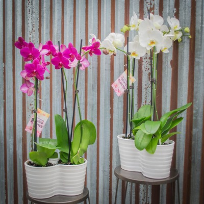 Orchid Planter - Double from Marion Flower Shop in Marion, OH