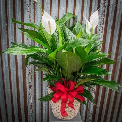 Peace Lily - 10