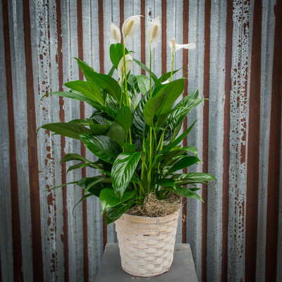 Peace Lily - Various Sizes from Marion Flower Shop in Marion, OH