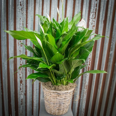 Peace Lily - 8