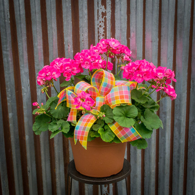 Stock Geranium Basket from Marion Flower Shop in Marion, OH